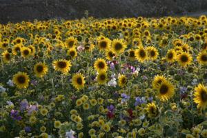 wildflower-meadow