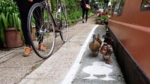 שבילי ברווזים על התעלה